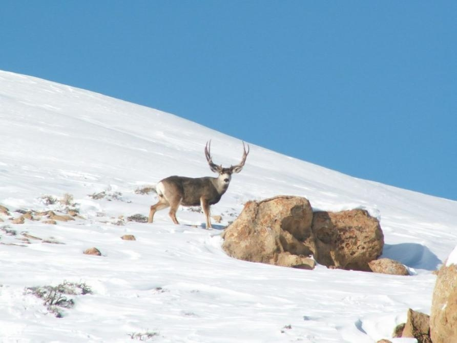 A trophy mule deer seen on a mountain side in New Mexico